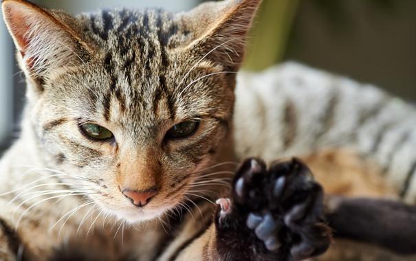 Фото обои кот, морда, лапа, котэ
