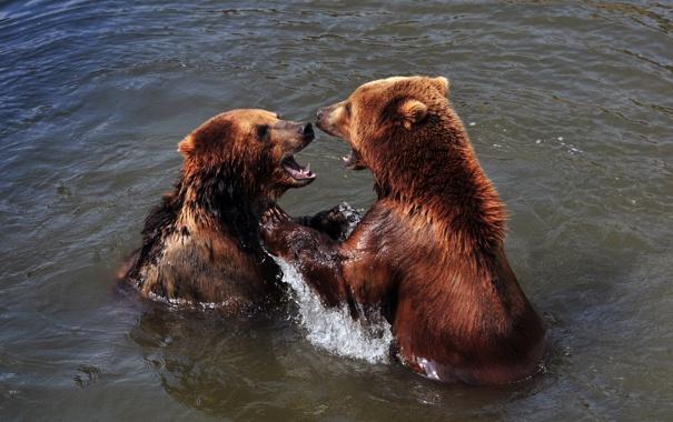 Фото обои игра, медведь, купание, пара, водоём