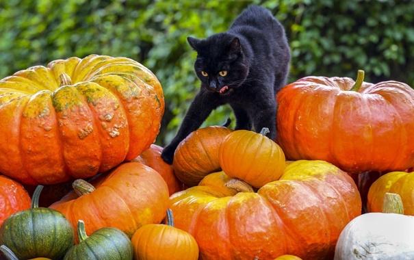 Фото обои кот, фон, чёрный, тыквы