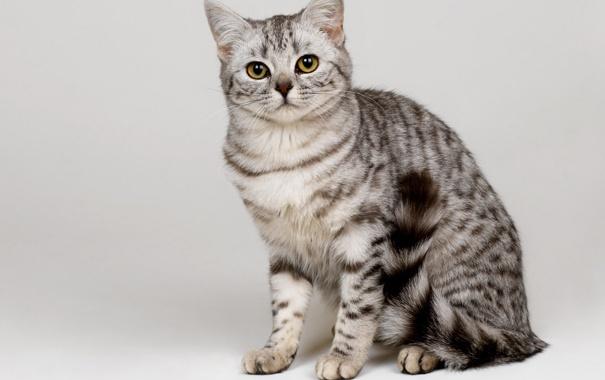 Фото обои кот, британец, вискас