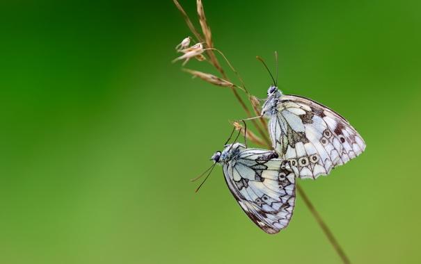 Фото обои бабочки, крылья, стебель, пара, wings, couple, butterflies