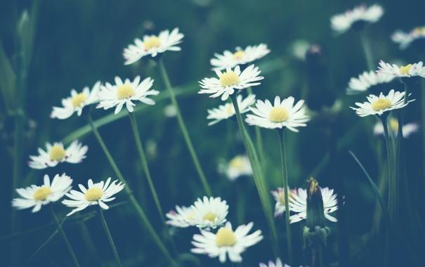 Фото обои цветы, ромашки, белые, много