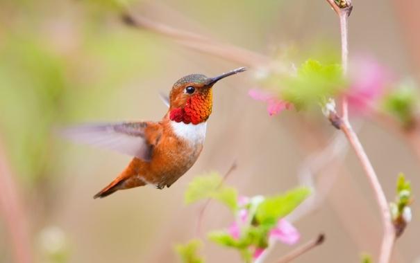 Фото обои цветы, ветка, колибри