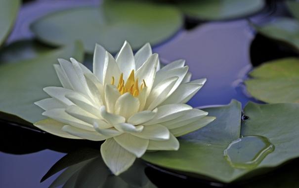 Фото обои цветок, вода, лилия, лепестки, белая, водяная