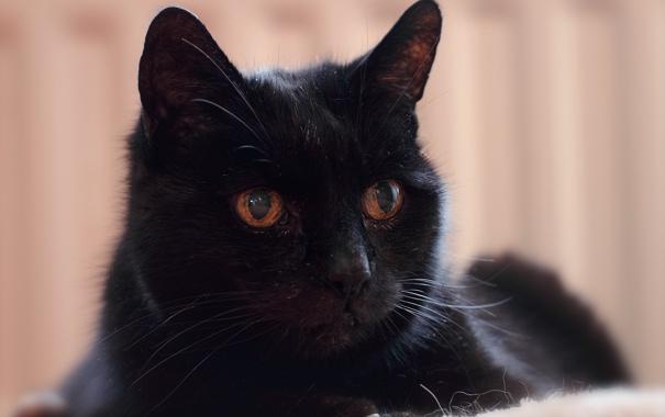Фото обои взгляд, кошак, котяра, котэ