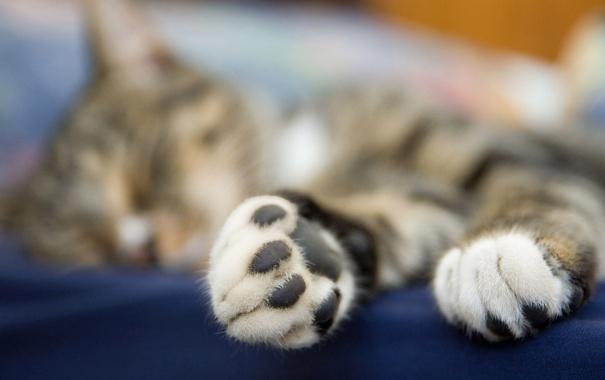 Фото обои кот, макро, лапа