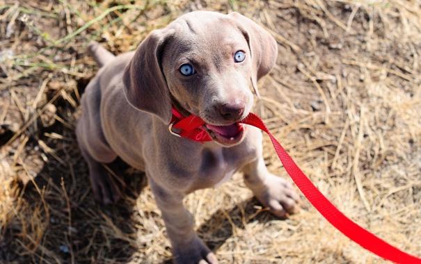 Фото обои глаза, взгляд, собака, щенок, поводок, weimaraner