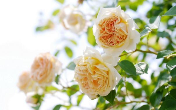 Фото обои розы, бутоны, розовый куст
