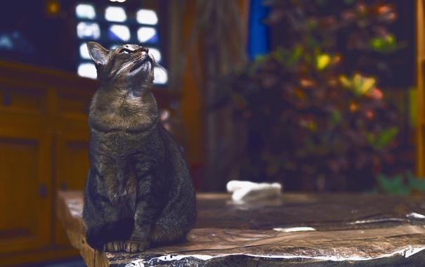 Фото обои кошка, фон, смотрит, котэ