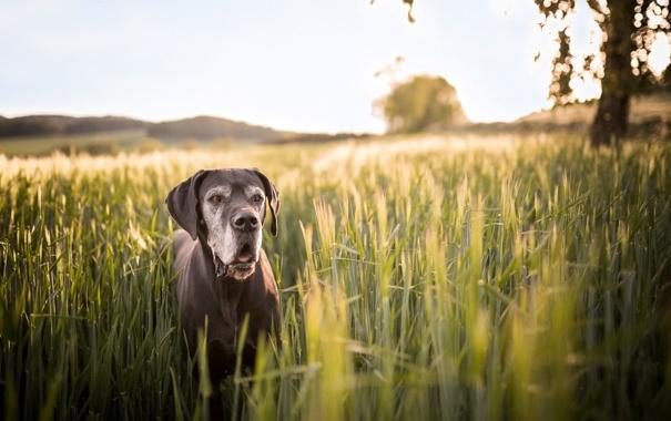 Фото обои лето, взгляд, друг, собака