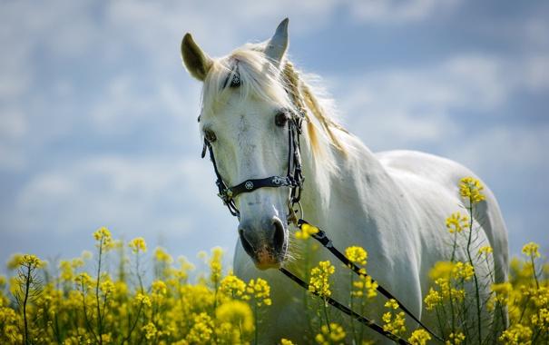 Фото обои белый, цветы, конь, лошадь, луг, грива, косички