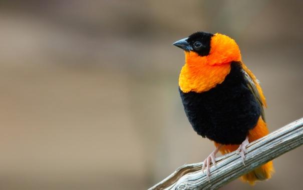 Фото обои оранжевый, птица, черный, ветка, клюв, огненный бархатный ткач, euplectes orix