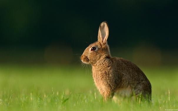 Фото обои трава, макро, Кролик