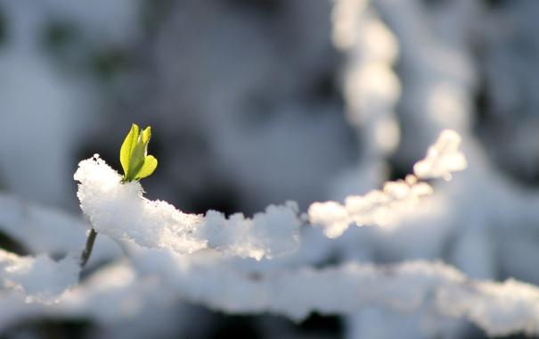 Фото обои холод, зима, зелень, снег, росток