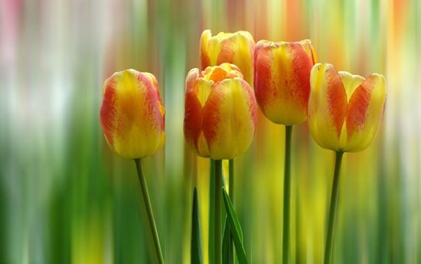 Фото обои размытость, тюльпаны, бутоны