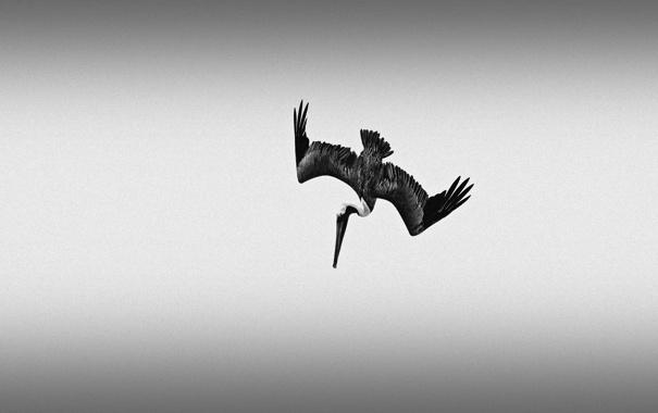 Фото обои полет, атака, рыбалка, крылья, клюв, пеликан