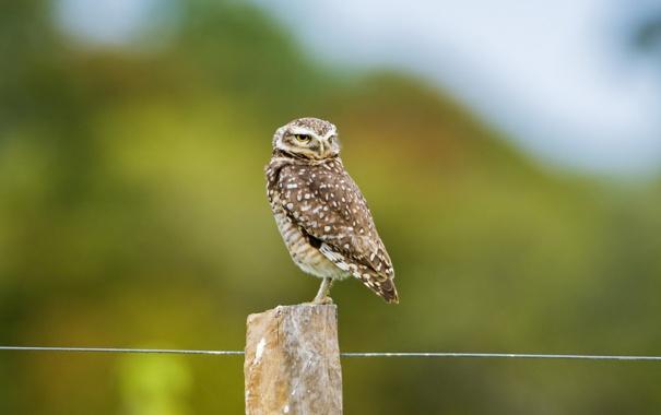 Фото обои сова, птица, забор