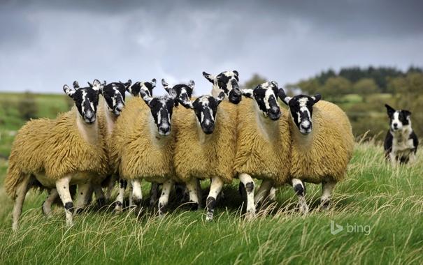 Фото обои овцы, Англия, собака, пастбище, луг