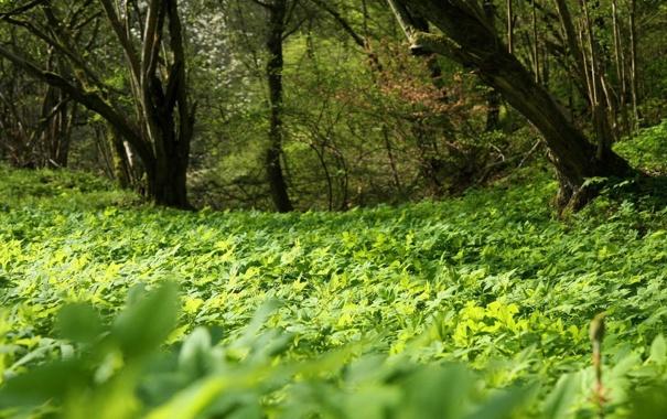 Фото обои зелень, лето, трава, деревья, Поляна, лесок