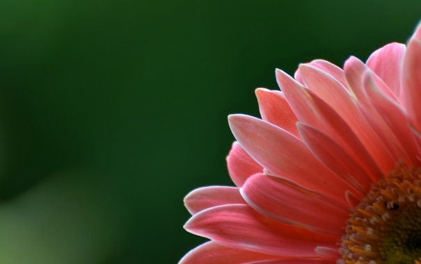 Фото обои цветок, обои, лепестки, гербера