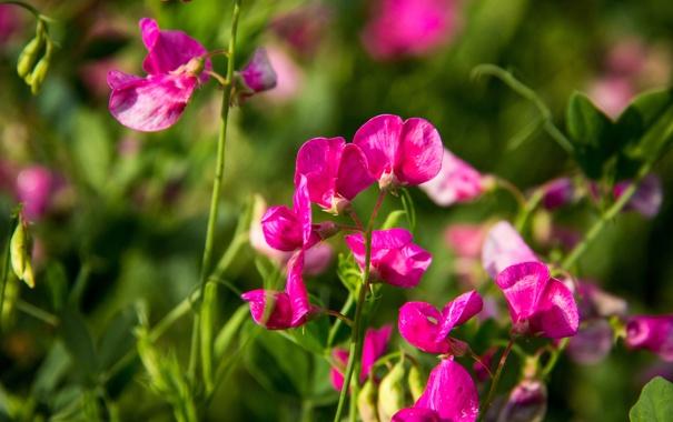 Фото обои лето, трава, макро, цветы, розовый, горошек, зеленое