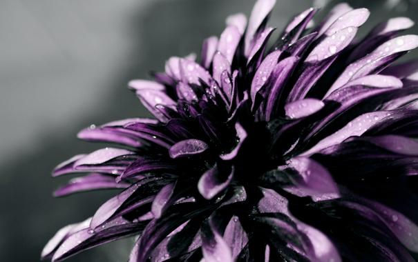 Фото обои капли, макро, цветы, лепестки, flowers, macro