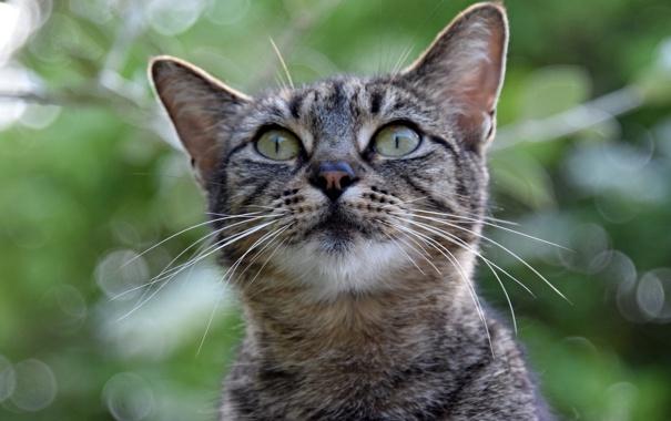 Фото обои кот, взгляд, серый, фон, пололсатый