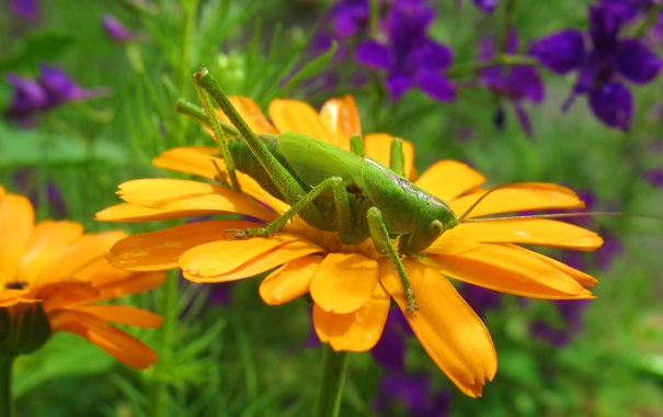 Фото обои цветок, кузнечик, макро, насекомые