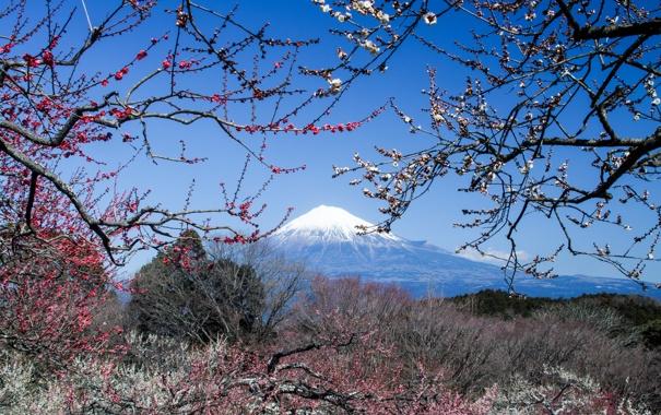 Фото обои гора, вулкан, Япония, сакура, Fuji