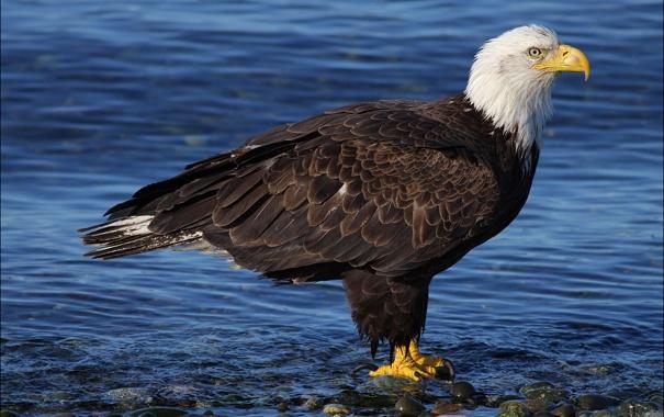 Фото обои вода, птица, хищник, Белоголовый орлан