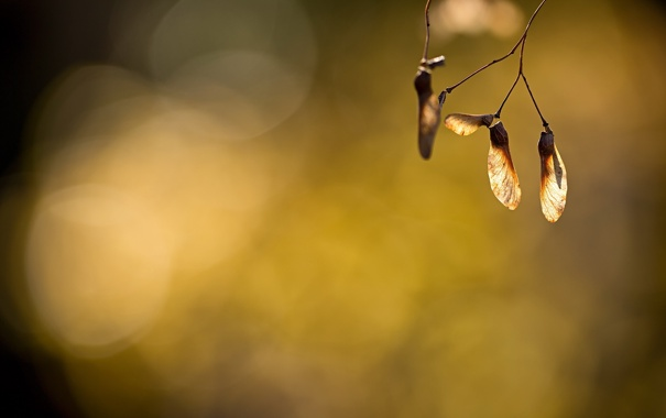 Фото обои light, nature, macro, bokeh, plant, maple