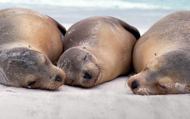 Фото обои Эквадор, Галапагосские острова, морские львы, остров Эспаньола