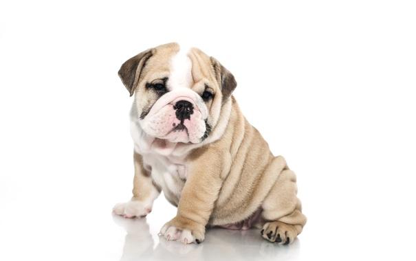 Фото обои собака, щенок, белый фон, английский бульдог