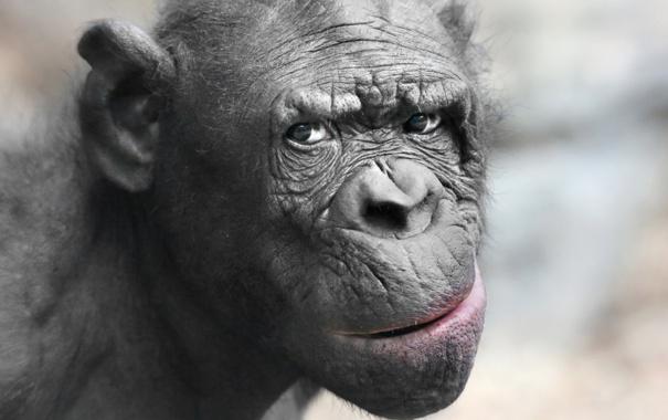 Фото обои animal, pygmy chimpanzee, apes