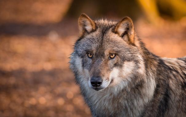 Фото обои глаза, волк, шерсть. хищник