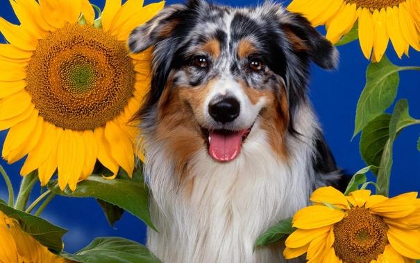 Фото обои цветок, природа, подсолнух, пес