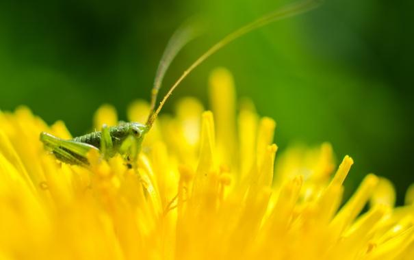 Фото обои цветок, природа, кузнечик