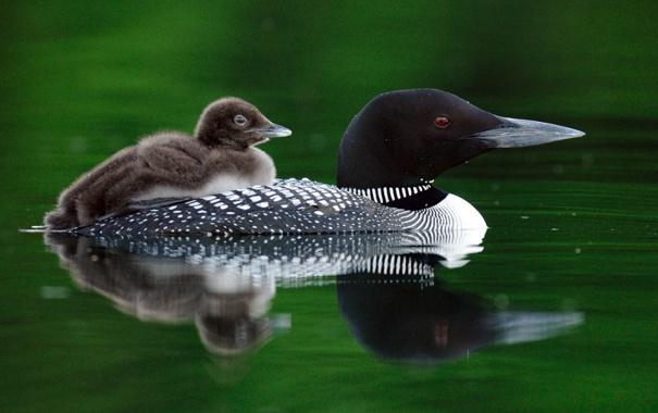 Фото обои плывет, птенец, река, птица