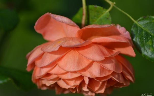 Фото обои роза, лепестки, макро