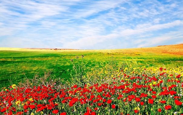 Фото обои небо, пейзаж, цветы, природа, засеянное поле
