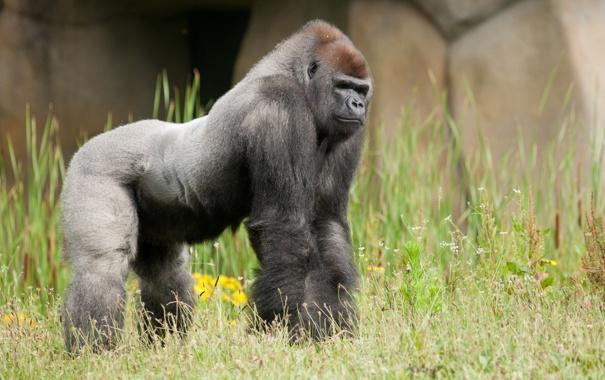 Фото обои Zoo, Gorilla, Westelijke laagland gorilla, La Bosière du Doré