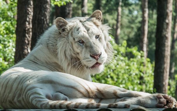 Фото обои тигр, отдых, хищник, лежит, дикая кошка, зоопарк