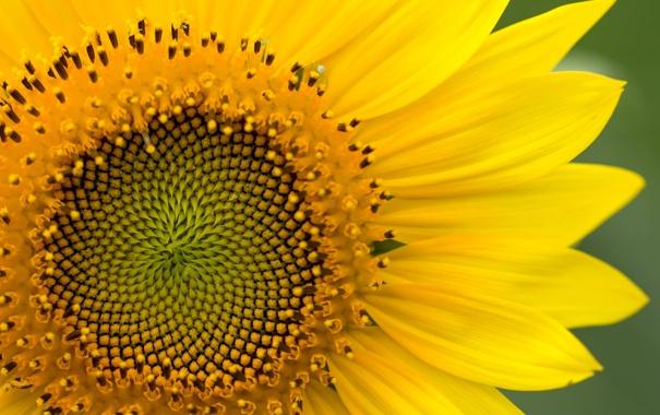 Фото обои макро, желтый, растение, подсолнух, лепестки, цветк