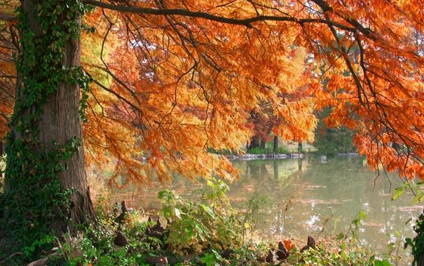 Фото обои осень, озеро, дерево, Burning Pond