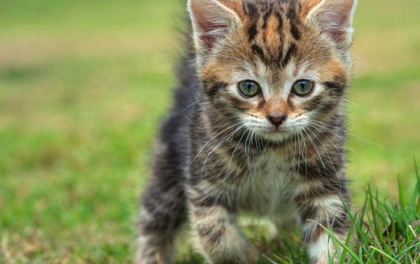 Фото обои трава, прогулка, котёнок