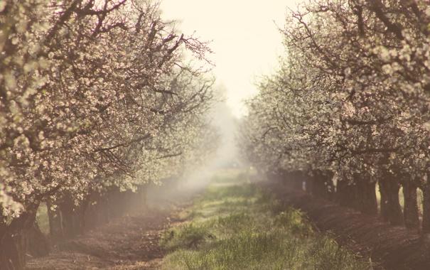 Фото обои природа, туман, весна, сад, яблони