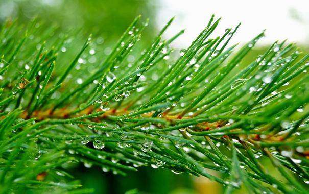 Фото обои капли, иголки, зеленый, дождь, ветка, Сосна