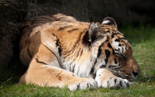 Фото обои кошка, тигр, отдых, сон