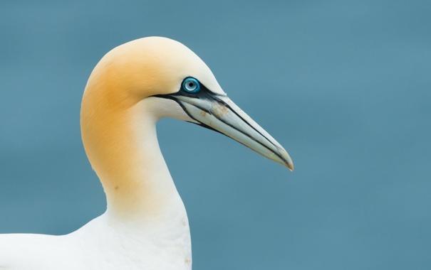 Фото обои фон, птица, gannet