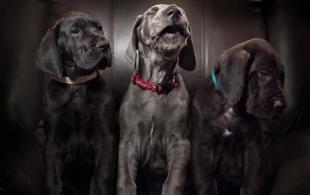 Фото обои собаки, дом, фон